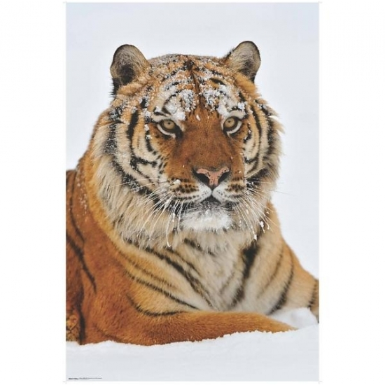 Image of Poster Siberische tijger 61 x 91 cm