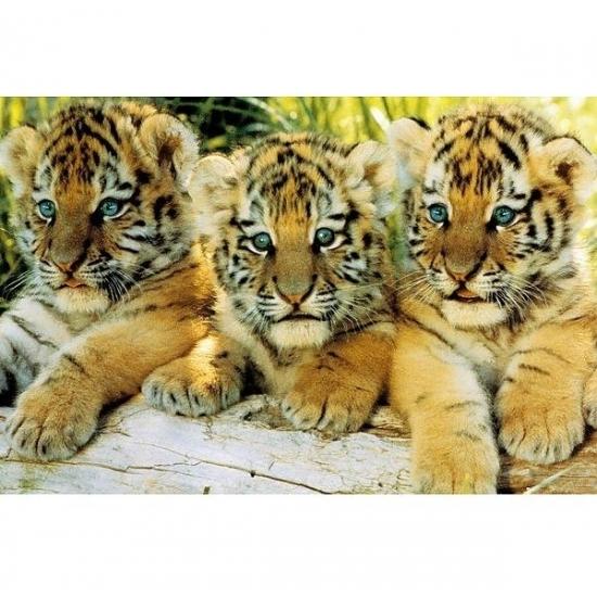 Image of Poster tijger welpjes 61 x 91 cm